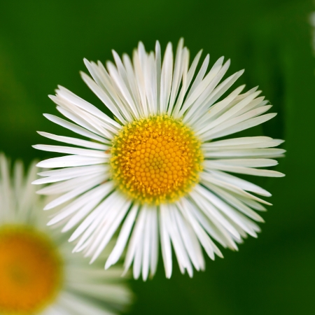Chamomile  daisy  flower macro on a background of grass Stock Photo - 20408623
