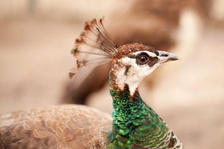 peacock wheel:  Peacock close-up portrait. Macro. Birds head. Stock Photo