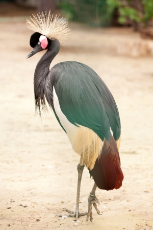 Crowned Crane (Balearica Regulorum) walking outdoors. Stock Photo - 20681810