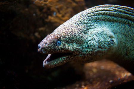 eel: Moray Eel with its mouth open under water