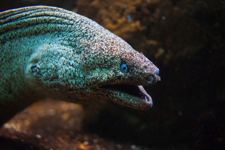 eel: Giant Moray Eel with open mouth close-up
