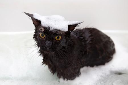 Maine Coon gatito toma un baño con espuma.