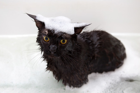 catling: Maine Coon kitten taking a bath with foam.