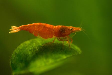 freshwater aquarium plants: Red shrimp in aquarium close-up. Macro shot.