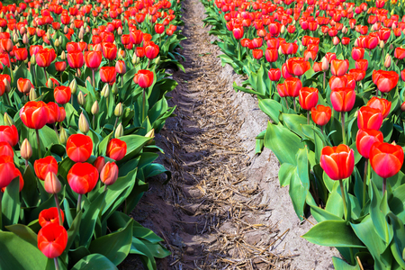 Spring red flowers tulips field. Many blooming flowers tulips.