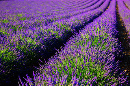 Blooming lavender field. France, Provence, French Alps. Stock Photo