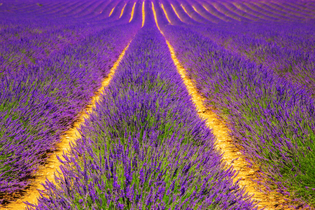 Blooming lavender field. France, Provence. Floral background Stock Photo