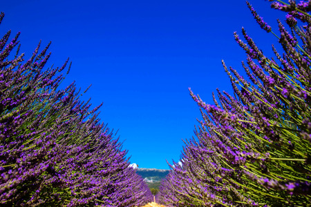 Blooming lavender field  and the blue sky. Place for text or symbol. Floral background or texture. France, Provence