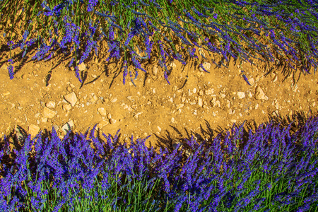 Flowers of lavender and soil. Free space for text. Stock Photo