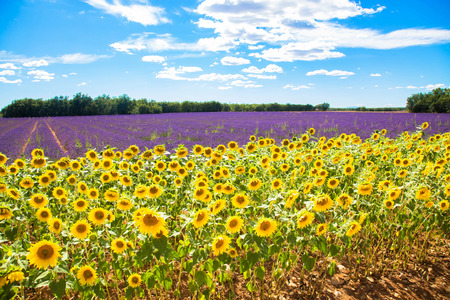 Meadow with lavender and sunflowers. Summer concept.