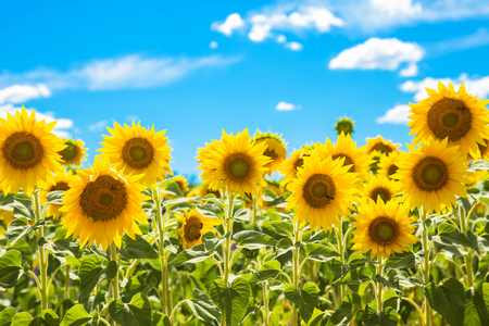 Field of flowers sunflowers and blue sky. Summer and vacation concept.