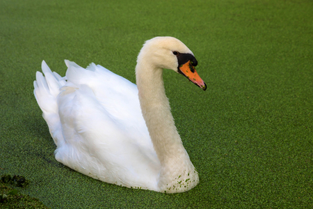 White swan on a pond, overgrown with duckweed. Bird close-up. Stock Photo
