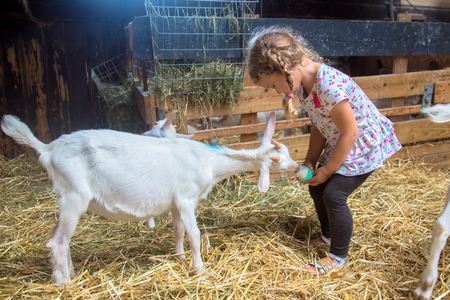 Little child feeds a goat with milk from a bottle. Caring for animals since childhood concept. Stock Photo