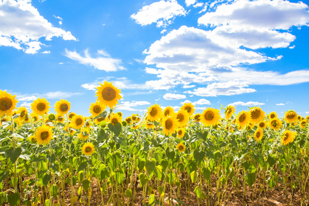 Field of flowers sunflowers and blue sky. Sunflowers meadow. Summer and vacation concept. Stock Photo