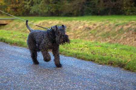 Pet dog kerry blue terrier walks in the park. The dog is running. Happy pet concept.