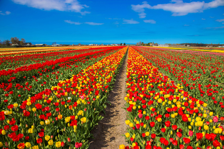 Spring blooming tulip field. Flowers tulips, the symbol of the Netherlands. Red tulips and blue sky, sunny spring day. Spring floral background.