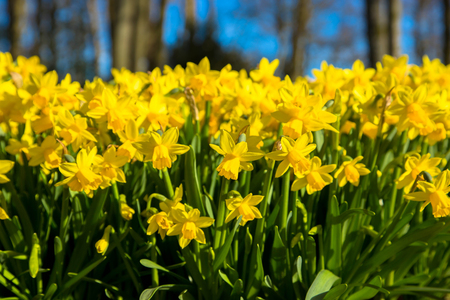 The first spring flowers yellow daffodils. Yellow spring fragrant flowers daffodils and green grass. Spring bright floral background.  Stock Photo