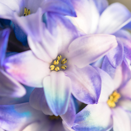 Macro shot of a flower. Blooming hyacinth close-up. Aromatic hyacinth flower. A symbol of spring. Multicolored spring flowers, the smell of spring. Imagens