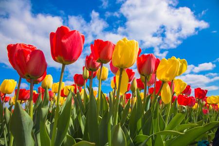 Champ de tulipes en fleurs de printemps. Tulipes fleurs, symbole des Pays-Bas. Tulipes rouges et ciel bleu, journée de printemps ensoleillée. Fond floral de printemps.