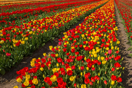 Spring blooming tulip field. Flowers tulips, the symbol of the Netherlands. Red and yellow tulips in sunny spring day. Spring floral background. Stock Photo