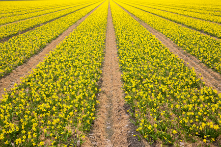 Spring flowering field. A bright yellow field of blooming spring flowers of daffodils. Spring background. Standard-Bild - 99615816