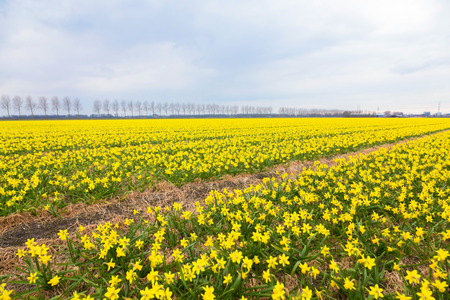 Spring flowering field. A bright yellow field of blooming spring flowers of daffodils. Spring background.