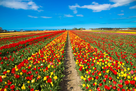 Spring flowers of tulips. Spring bright field of blooming tulips flowers. Spring countryside landscape. The Netherlands flower industry.