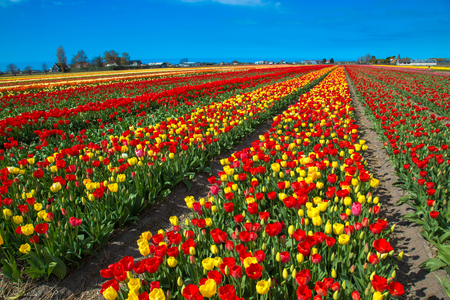 Spring flowers of tulips. Spring bright field of blooming tulips flowers. Spring countryside landscape. The Netherlands flower industry. Standard-Bild - 99229503