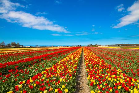 Spring flowers of tulips. Spring bright field of blooming tulips flowers. Spring countryside landscape. The Netherlands flower industry. Standard-Bild - 99214364