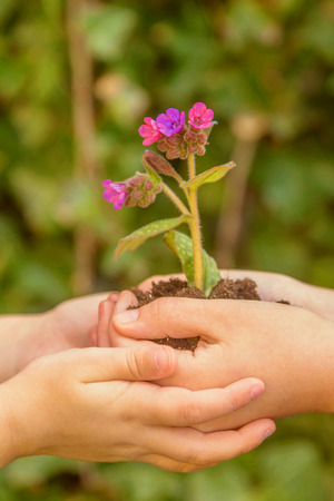 Children are holding a flower growing in the ground. Close-up of kids hands and a growing flower.  Green generation together. Green planet Earth, ecology, family caring for plants concept. Standard-Bild - 99884483
