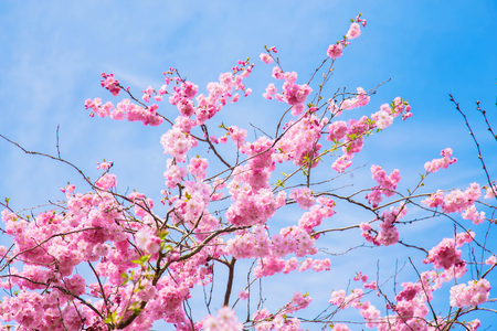 Beautiful spring pink sakura cherry flowers. Floral spring background. Blossoming cherry tree and blue sky. Standard-Bild - 99561311