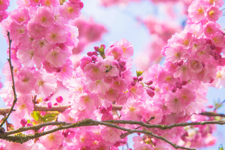 Beautiful spring pink sakura cherry flowers. Floral spring background. Blossoming cherry tree with bees. Standard-Bild - 99657403