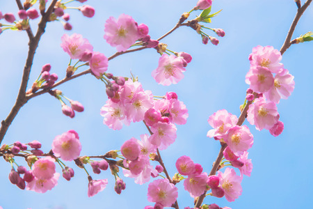 Beautiful spring pink sakura cherry flowers. Floral spring background. Blossoming cherry tree and blue sky. Standard-Bild - 99604589