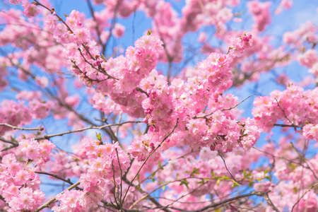 Beautiful spring pink sakura cherry flowers. Floral spring background. Blossoming cherry tree and blue sky. Standard-Bild - 99627060