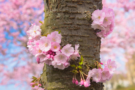 Blooming cherry tree trunk. Beautiful spring pink sakura cherry flowers. Floral spring background. Many pink flowers on the trunk. Symbol of spring Standard-Bild - 99542802