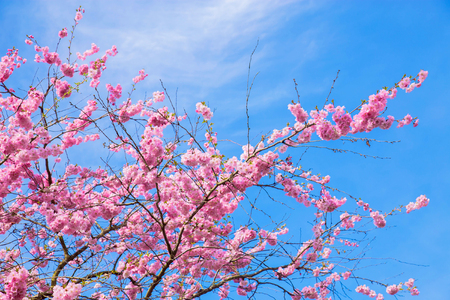 Beautiful spring pink sakura cherry flowers. Floral spring background. Blossoming cherry tree and blue sky. Standard-Bild - 99542803