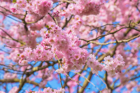 Beautiful spring pink sakura cherry flowers. Floral spring background. Blossoming cherry tree and blue sky. Standard-Bild - 99561312