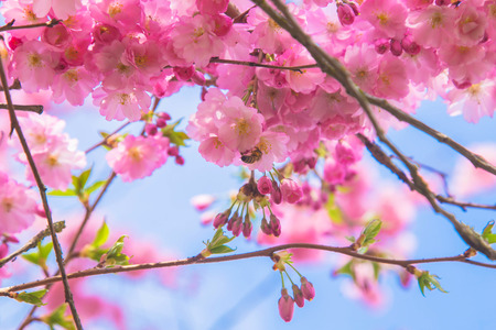 Beautiful spring pink sakura cherry flowers. Floral spring background. Blossoming cherry tree with bees. Standard-Bild - 99657408