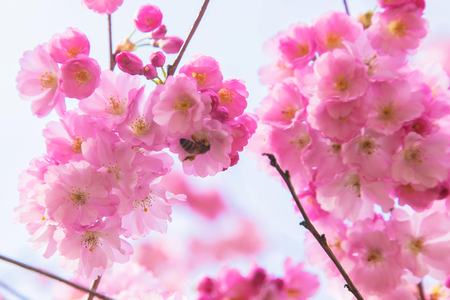 Beautiful spring pink sakura cherry flowers. Floral spring background. Blossoming cherry tree with bees. Standard-Bild - 99778667