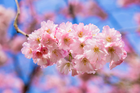 Beautiful spring pink sakura cherry flowers. Floral spring background. Blossoming cherry tree and blue sky.