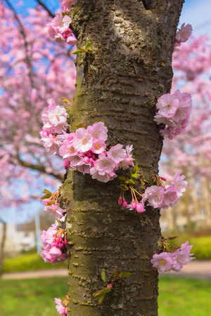 Blooming cherry tree trunk. Beautiful spring pink sakura cherry flowers. Floral spring background. Many pink flowers on the trunk. Symbol of spring Standard-Bild - 99542804