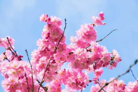 Beautiful spring pink sakura cherry flowers. Floral spring background. Blossoming cherry tree and blue sky. Standard-Bild - 99561313