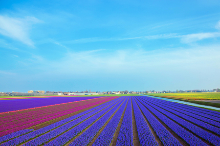 Spring flower field of purple hyacinths. Top view. Spring floral background, rural landscape. Blooming fragrant hyacinths. The Netherlands flower industry. Standard-Bild - 99939372