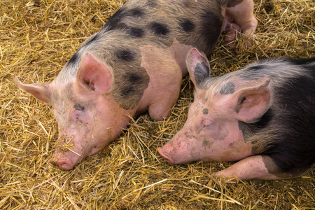 Couple sleeping pigs. Two young pigs are sleeping sweetly on a straw mat in a pigsty. Pig farm. Standard-Bild - 100148461