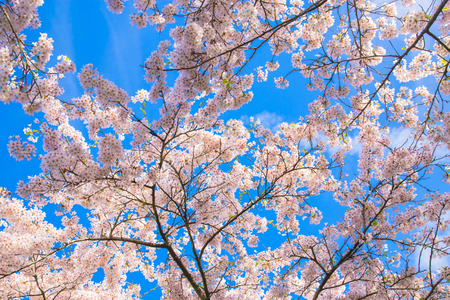 Japanese cherry blossoms. White flowers of a cherry on a background of a spring blue sky with clouds. Floral spring cherry background. Spring concept. Standard-Bild - 100153781