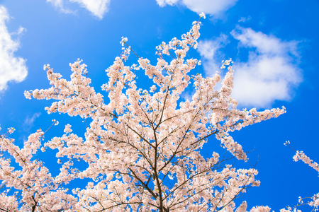 Japanese cherry blossoms. White flowers of a cherry on a background of a spring blue sky with clouds. Floral spring cherry background. Spring concept. Standard-Bild - 100159856