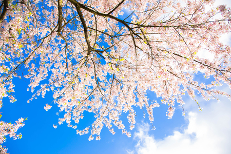 Japanese cherry blossoms. White flowers of a cherry on a background of a spring blue sky with clouds. Floral spring cherry background. Spring concept. Standard-Bild - 100180895