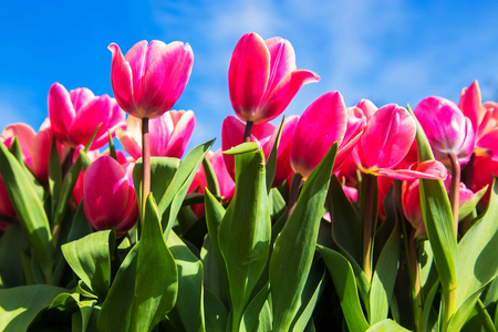 Blooming tulips against the blue sky. Tulip field, spring, bloom background. Standard-Bild - 100151668