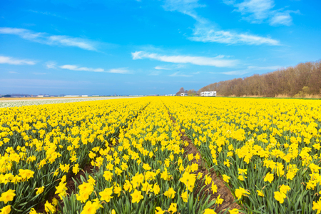 Yellow field and blue sky. Spring yellow flowers of daffodils and a spring bright sky with clouds. A typical Dutch spring landscape. Standard-Bild - 100366919