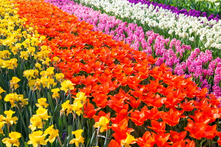 Colorful tulip flower field. Multicolored bright tulips flowers. Typical Dutch landscape. Spring in the Netherlands. Standard-Bild - 100375113